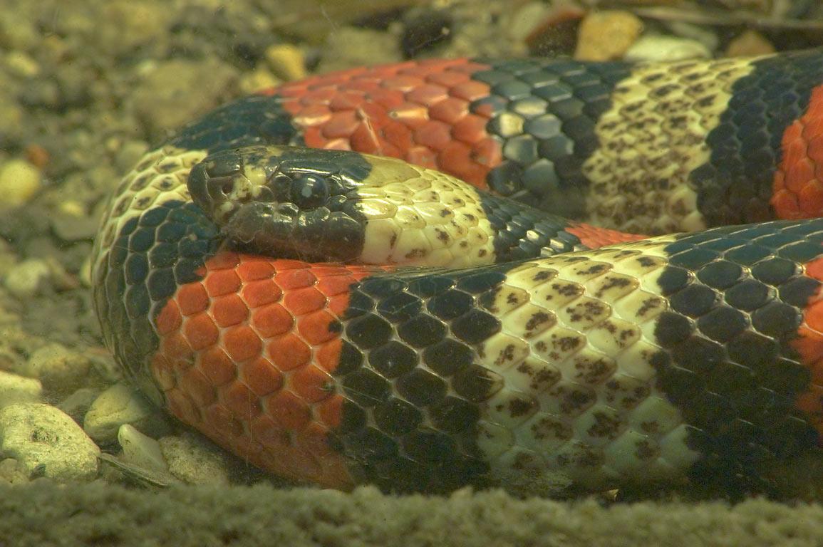 snake new orleans stripper