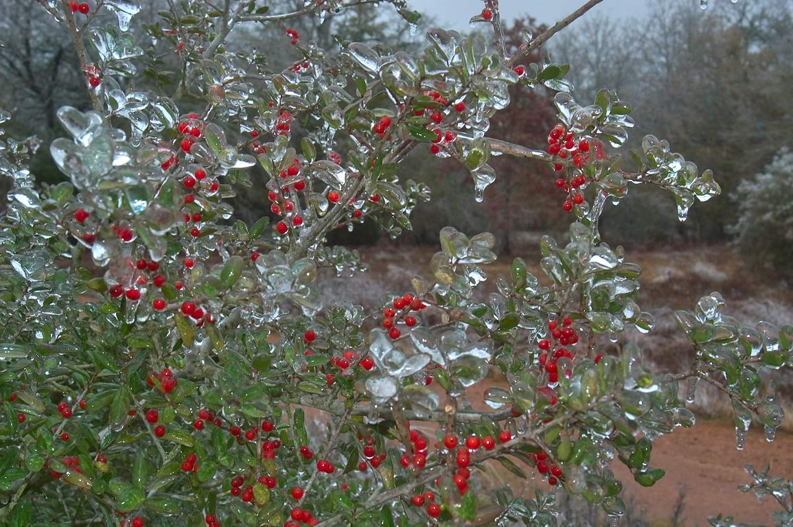 Icy berries on yaupon holly near Iron Bridge...ice storm. College Station, Texas