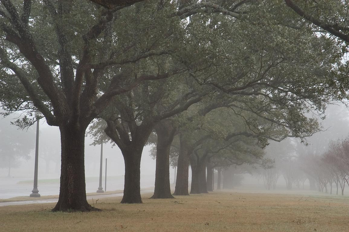 Oaks along New Main Rd. on campus of Texas A and...in fog. College Station, Texas
