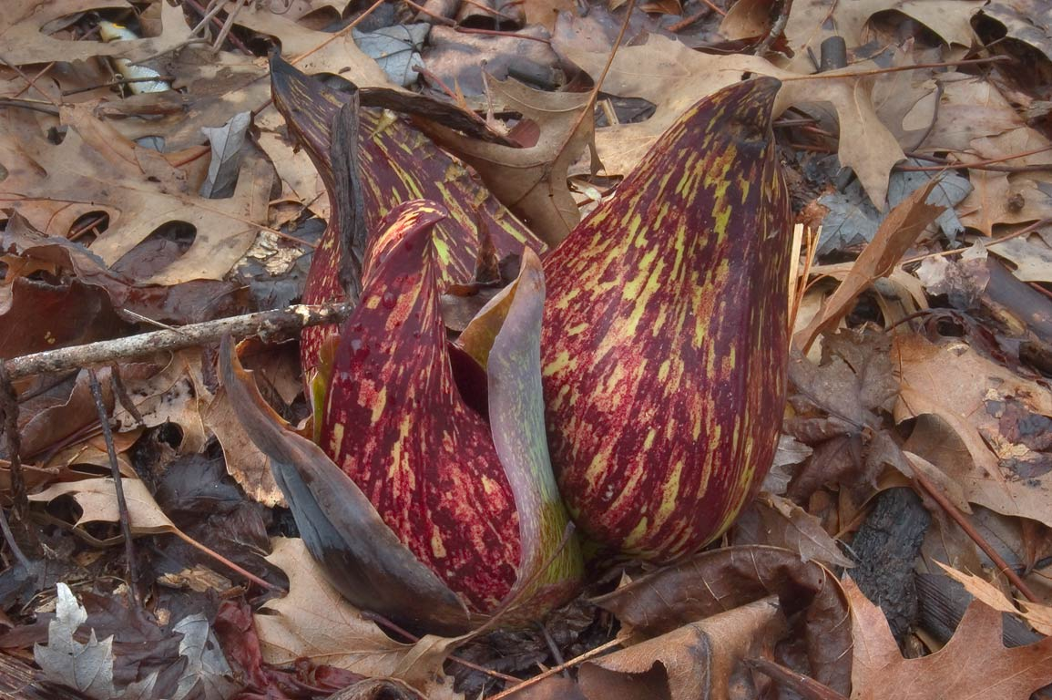 Buds of skunk cabbage in Delaware and Raritan Canal State Park. Kingston, New Jersey