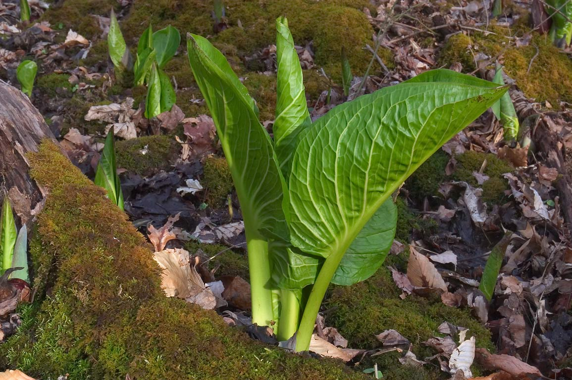 Skunk cabbage in the park behind Institute for Advanced Studies. Princeton, New Jersey