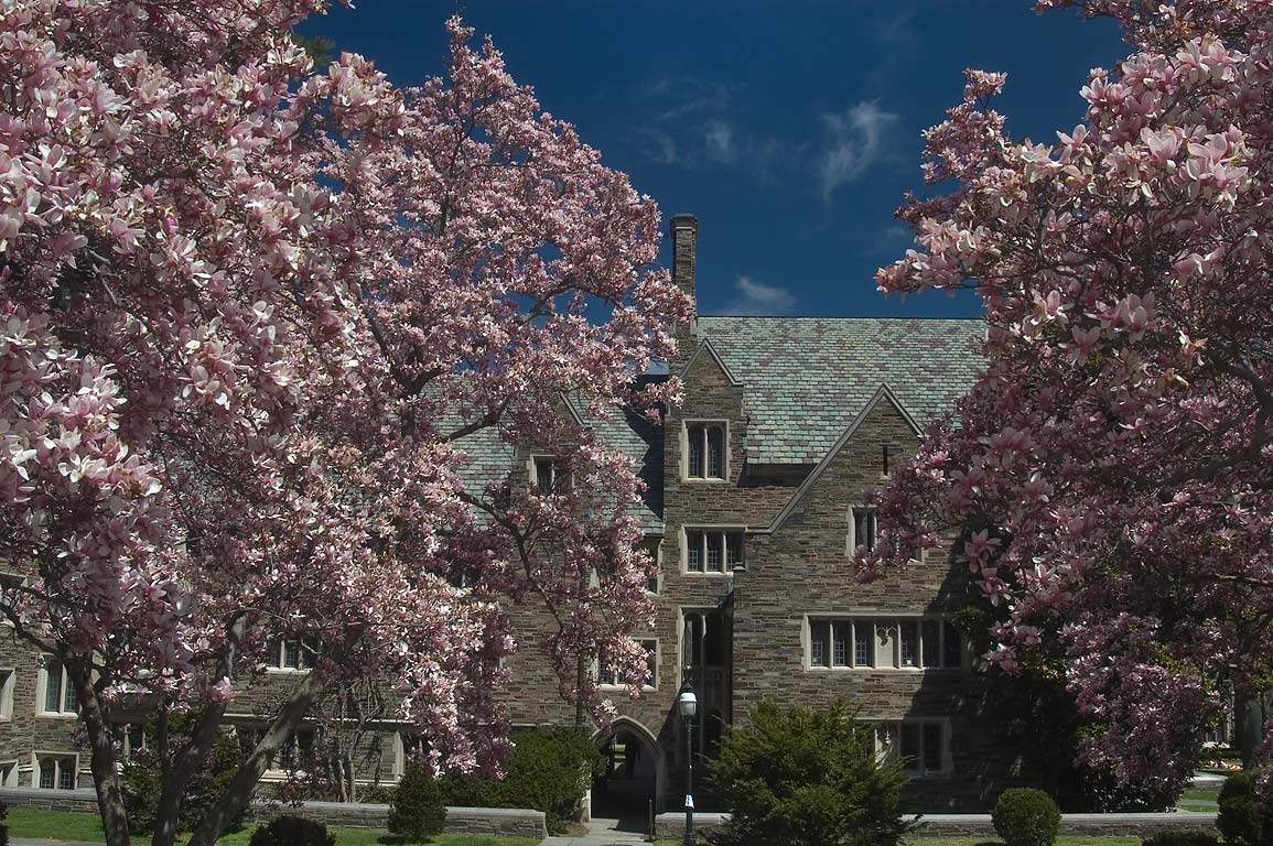 Blooming saucer magnolia trees on University...University. Princeton, New Jersey