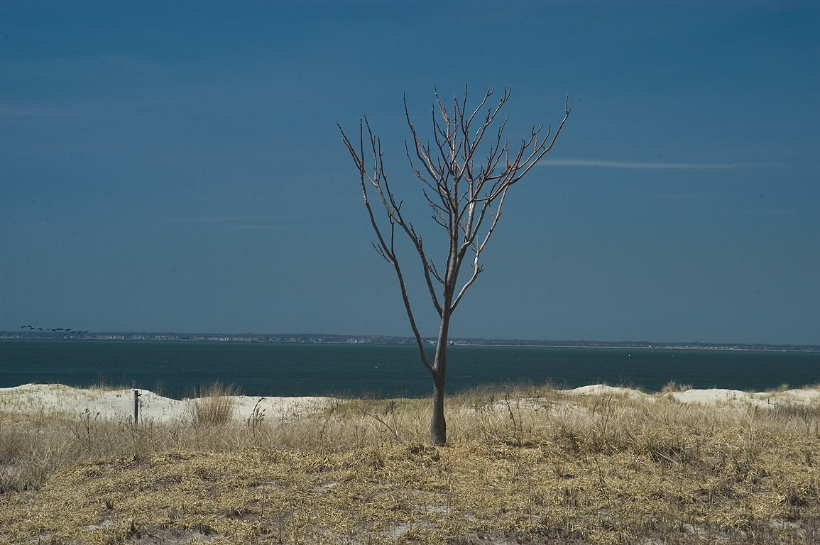 A tree on northern tip of Sandy Hook. New Jersey