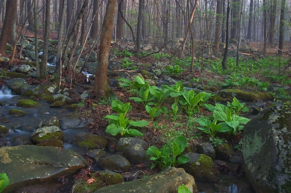 Skunk cabbage on boulder field in John Witherspoon Woods park. Princeton, New Jersey