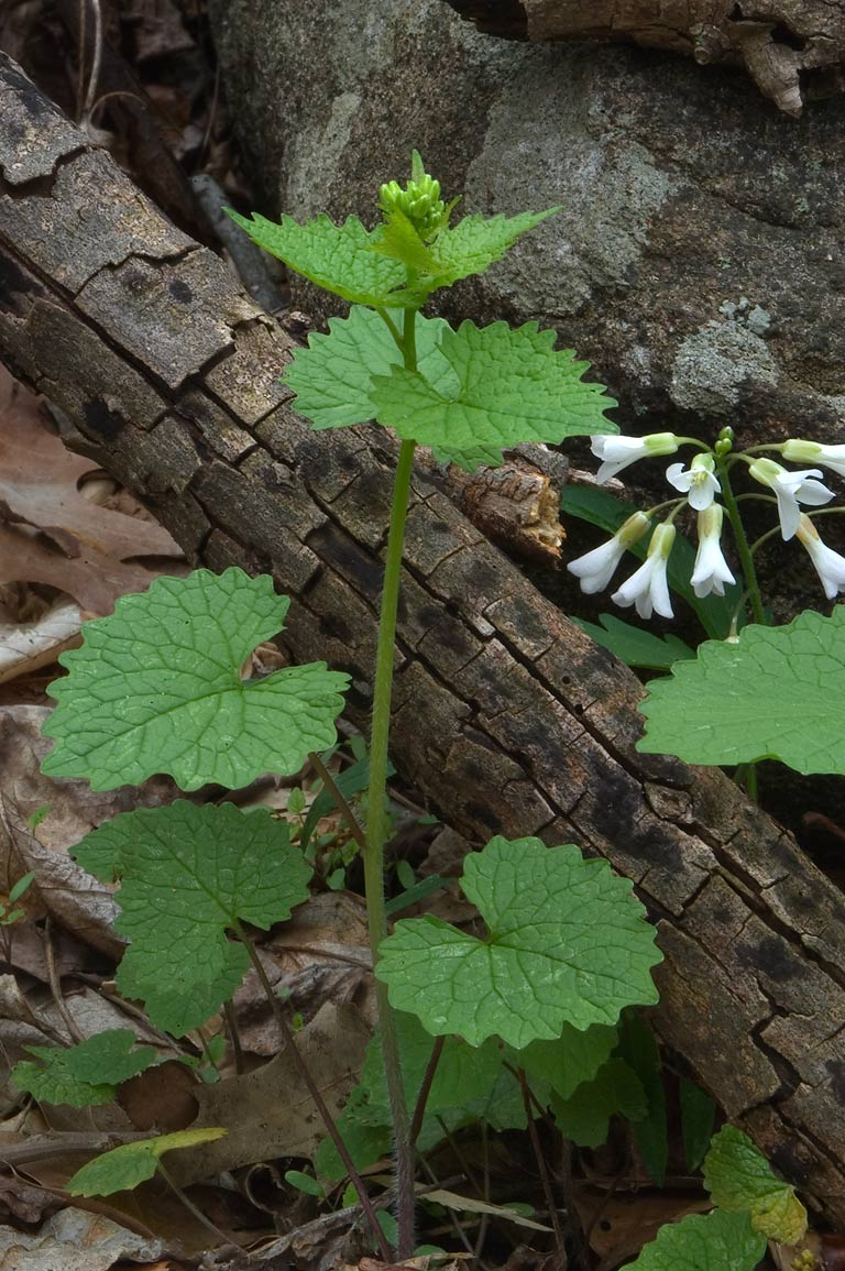 Garlic mustard and cut leaf toothwort in...Watershed park. Pennington, New Jersey