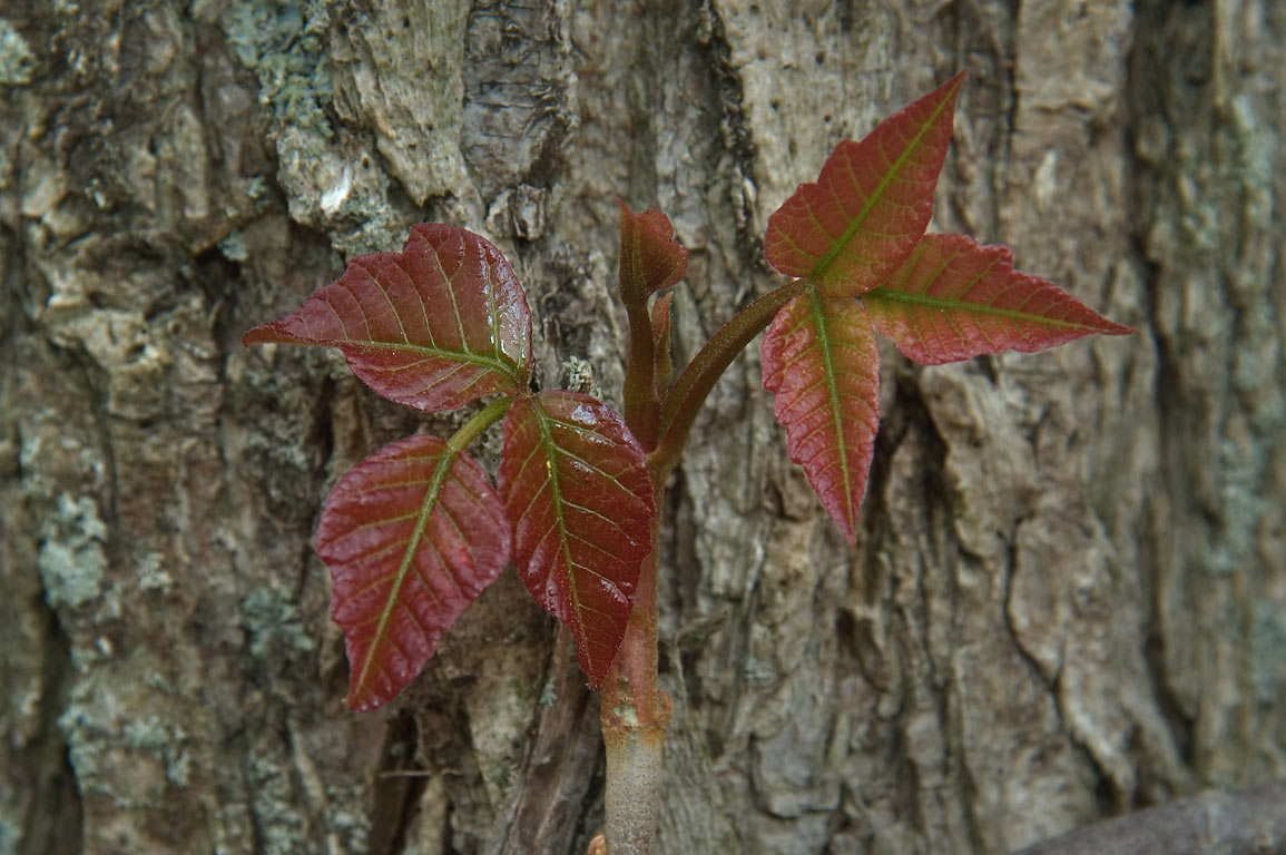 Poison ivy on bark of a tree, in Delaware and...St. crossing. Princeton, New Jersey