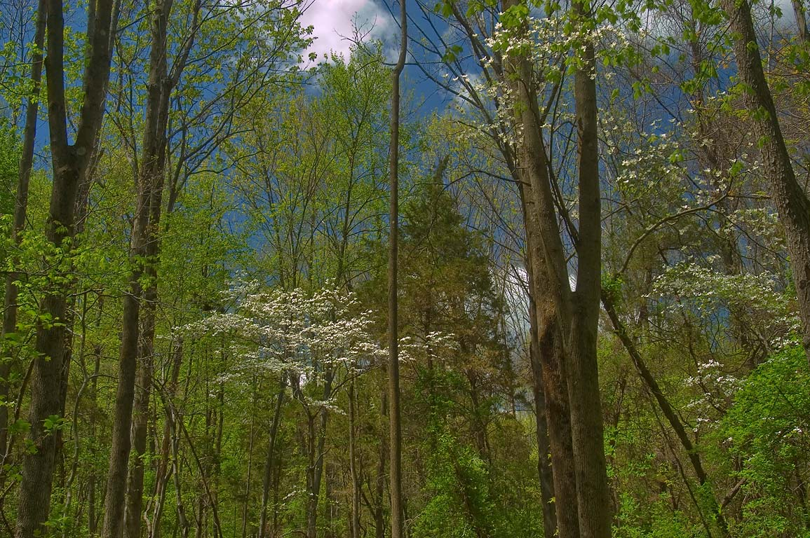 Dogwood in a forest on Ridge Trail east...Preserve. Somerset County, New Jersey