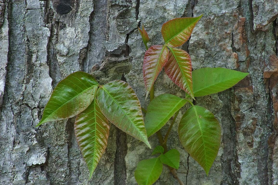 Poison ivy on a bark of a tree in Delaware and...Canal State Park. Kingston, New Jersey