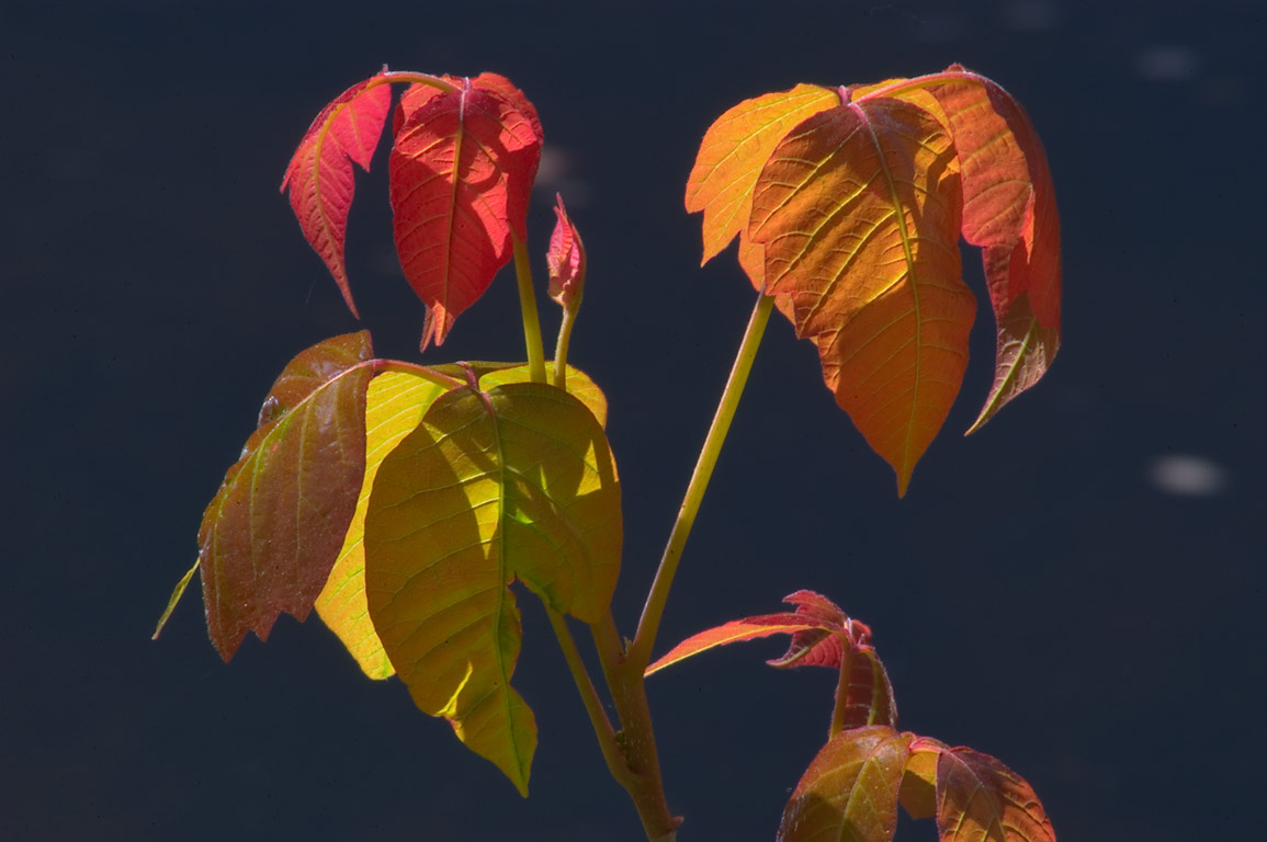 Red and yellow leaves of poison ivy in Delaware...Carnegie Lake. Princeton, New Jersey