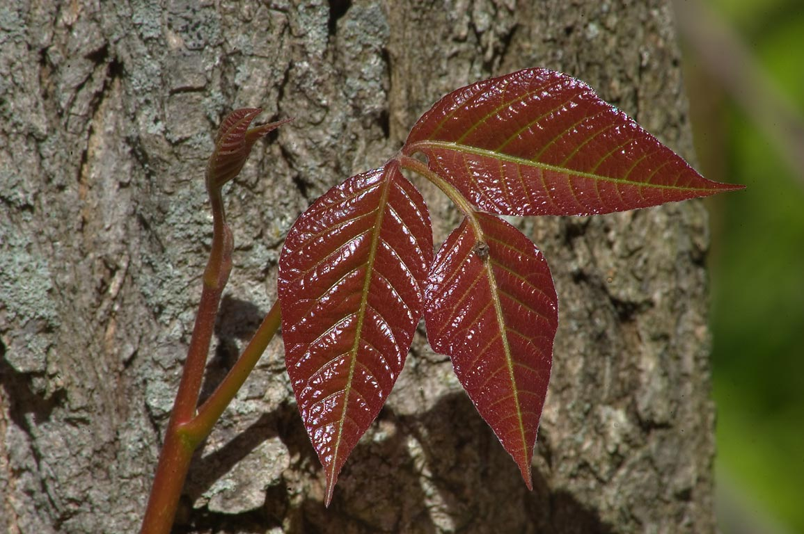 Young leaf of poison ivy in Delaware and Raritan...Carnegie Lake. Princeton, New Jersey