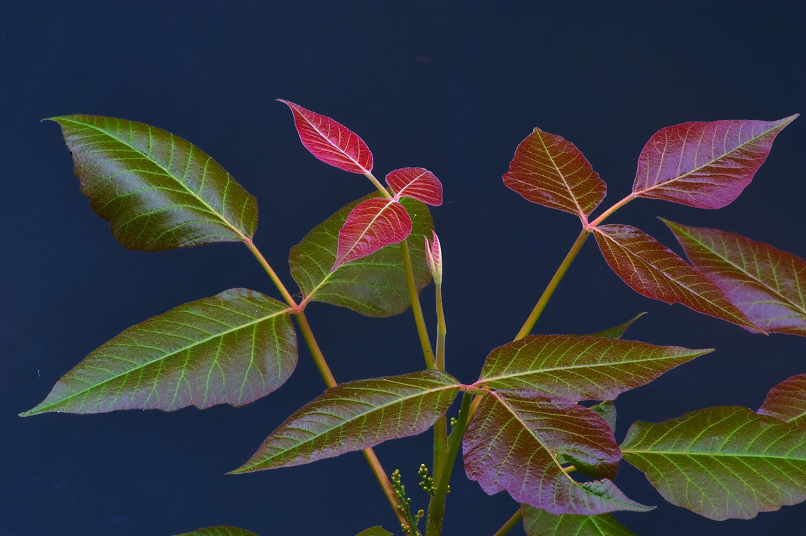Young leaves of poison ivy over Delaware and...Carnegie Lake. Kingston, New Jersey