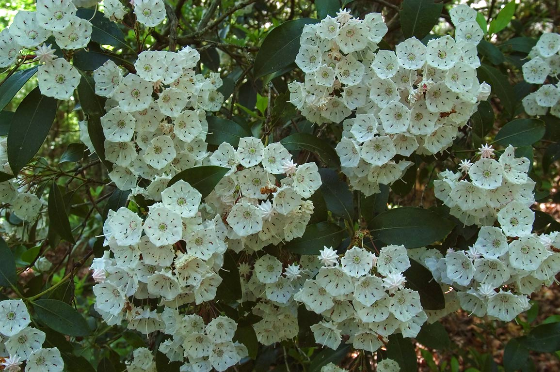 Mountain laurel flowers on Blue Trail in DeSoto...Lookout Mountain. Fort Payne, Alabama