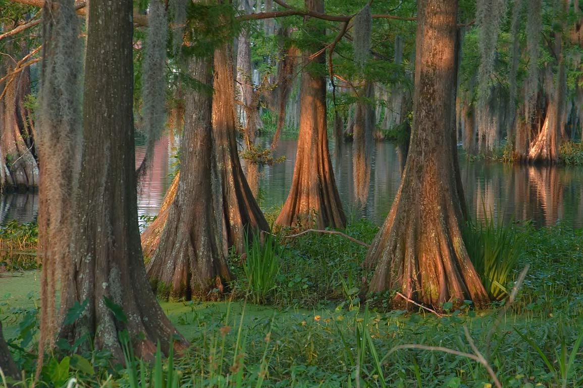 Cypress swamp-like lake in the heart of the...Lafayette campus. Lafayette, Louisiana