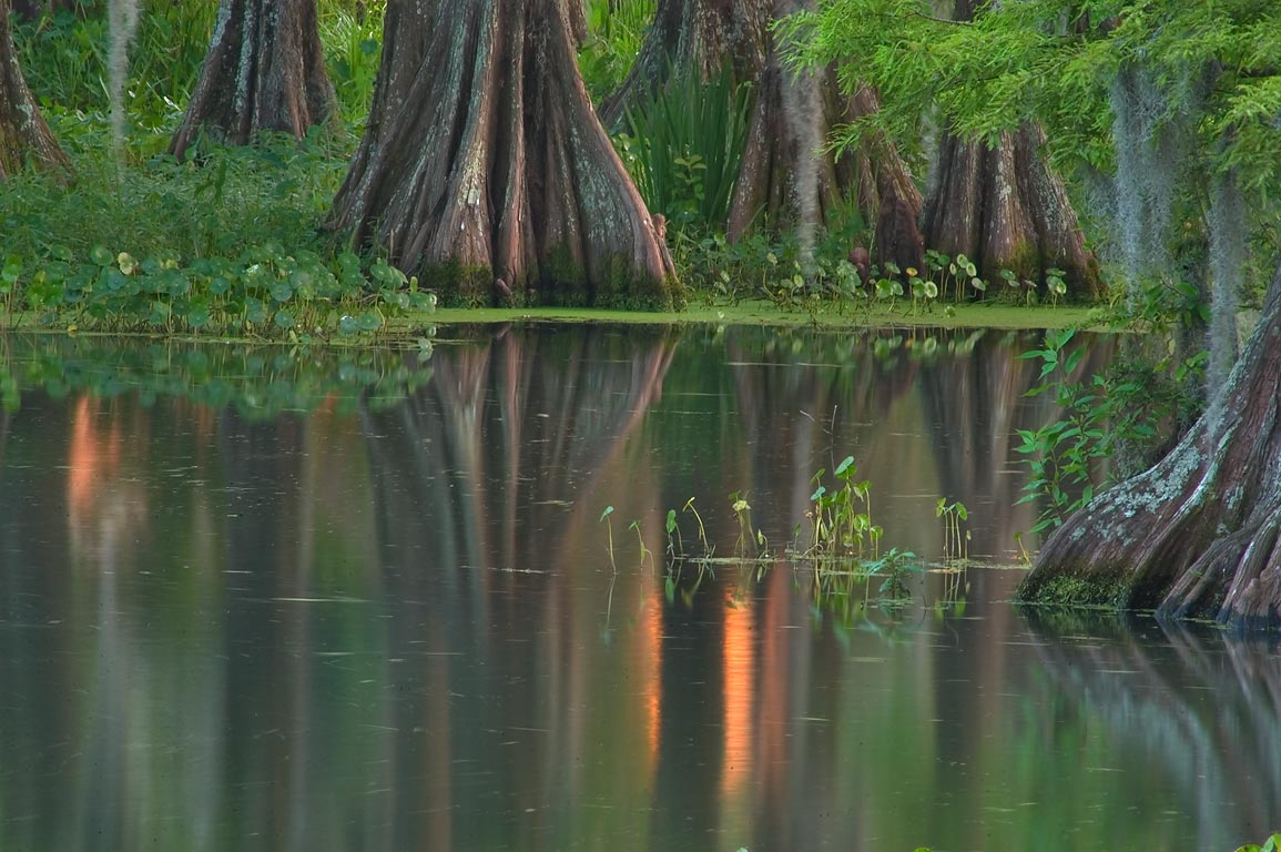 A cypress pond in the University of Louisiana at...campus at sunset. Lafayette, Louisiana