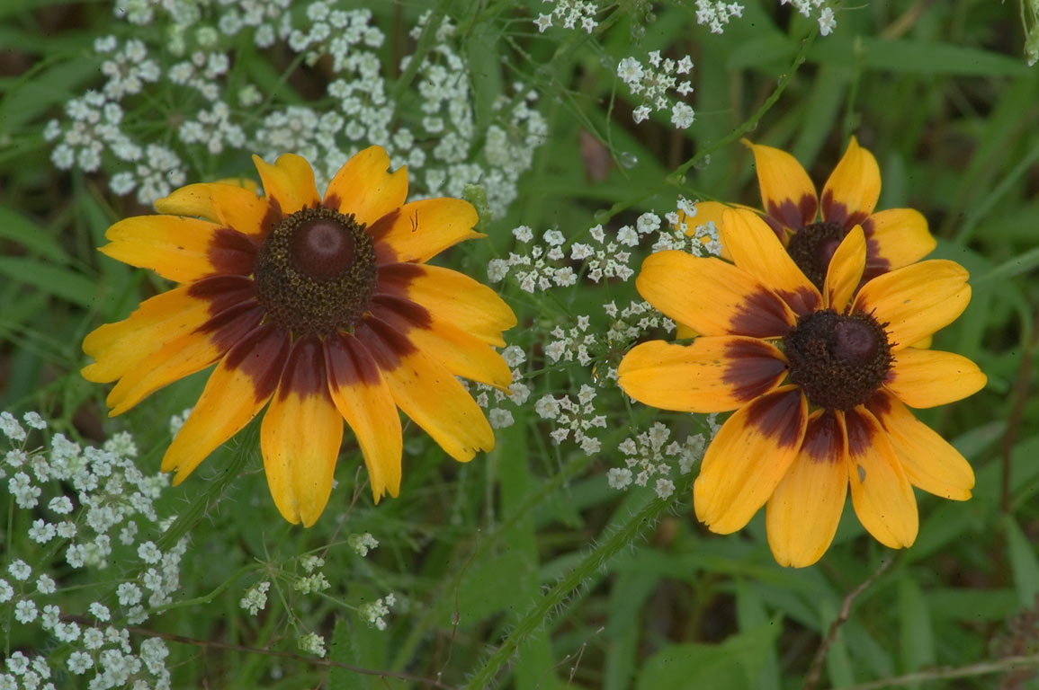 Photo 586 16 black eyed susan flowers rudbeckia hirta Black eyed susans