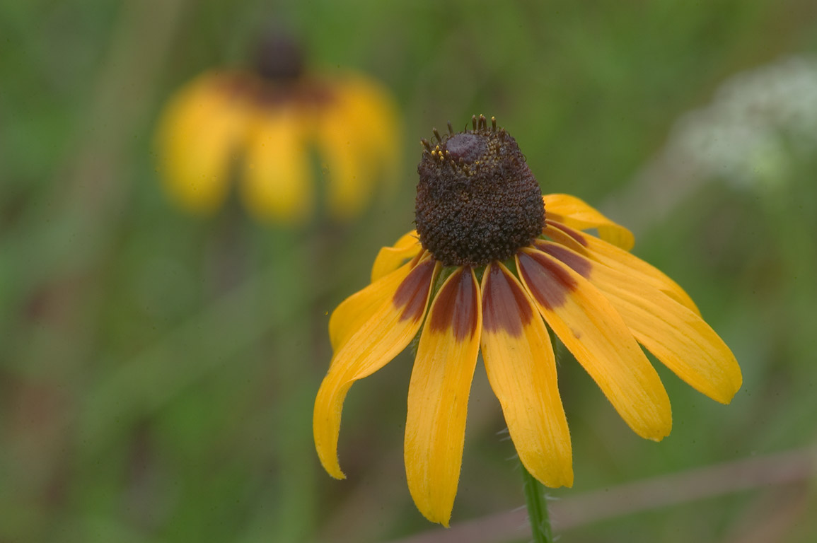 Black eyed susan flowers (coneflowers, Rudbeckia...Creek Park. College Station, Texas