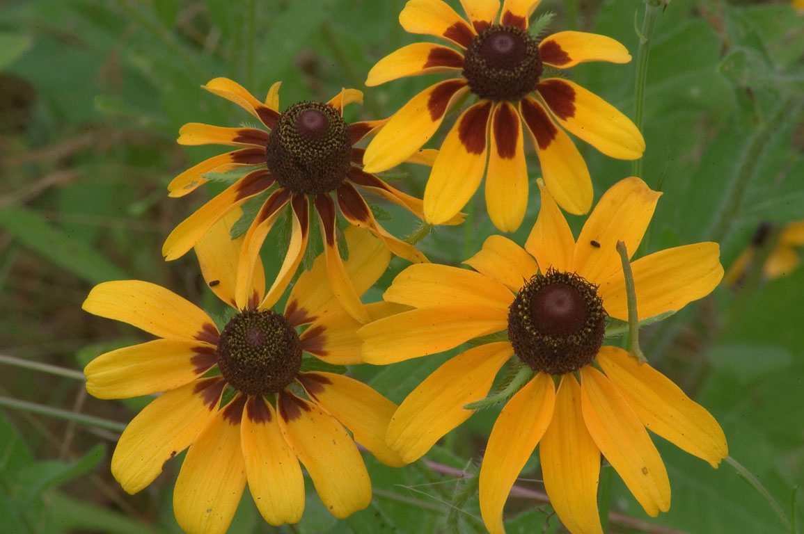 Coneflowers (black eyed susan flowers) near Iron...Creek Park. College Station, Texas