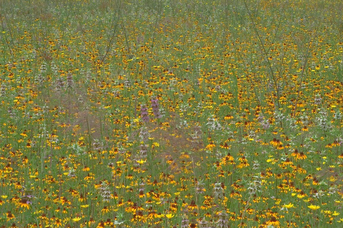 A field of flowers near Rd. 162. Calvert, Texas