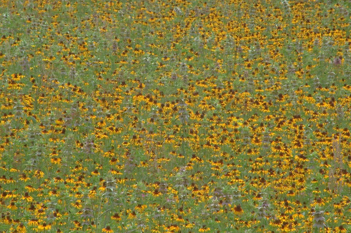 A field of black eye susan flowers near Rd. 162. Calvert, Texas