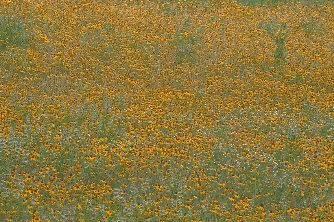 A field of yellow flowers in Washington-on-the...State Historic Site. Washington, Texas