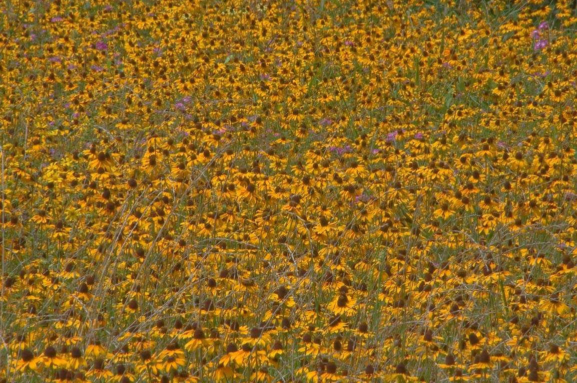 A field of wildflowers near Old Washington Town...State Historic Site. Washington, Texas