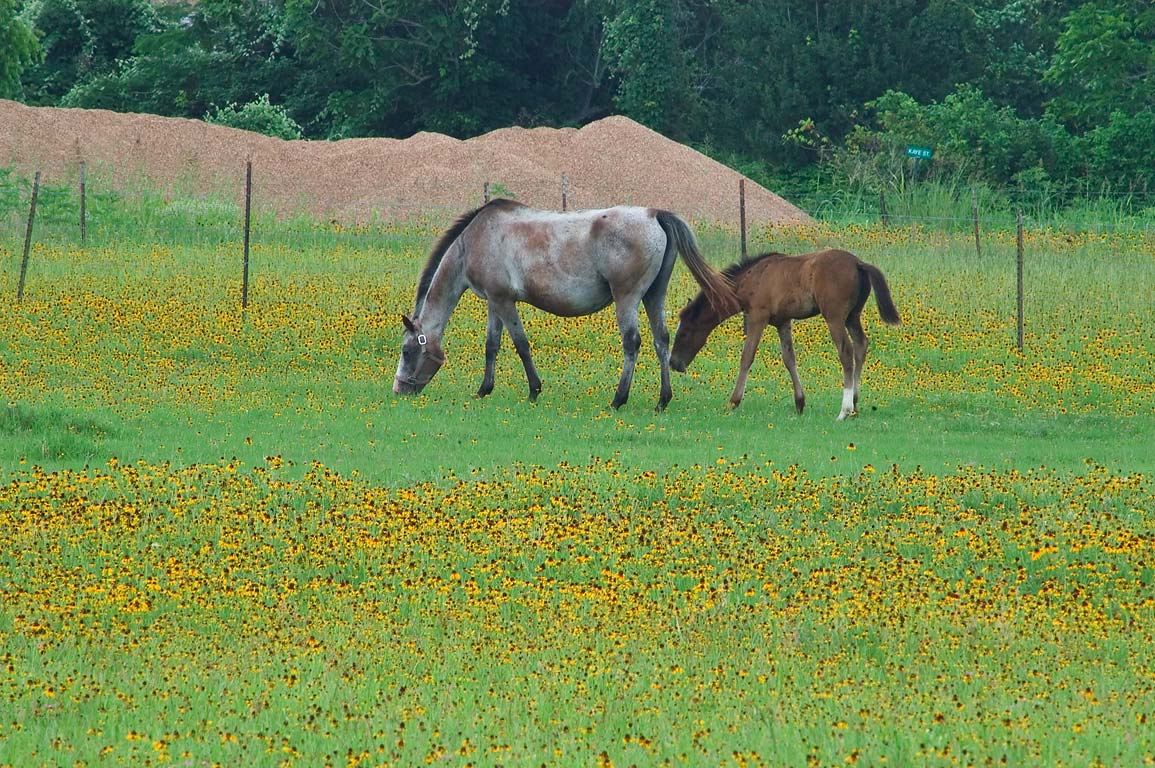 Horses near Rd. 1155 , near Chapel Hill . Texas