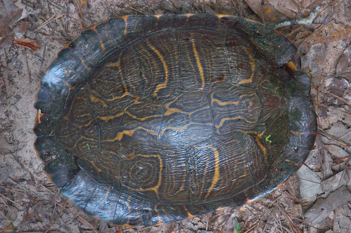 A turtle in Sam Houston National Forest, near Lake Conroe. Near Huntsville, Texas