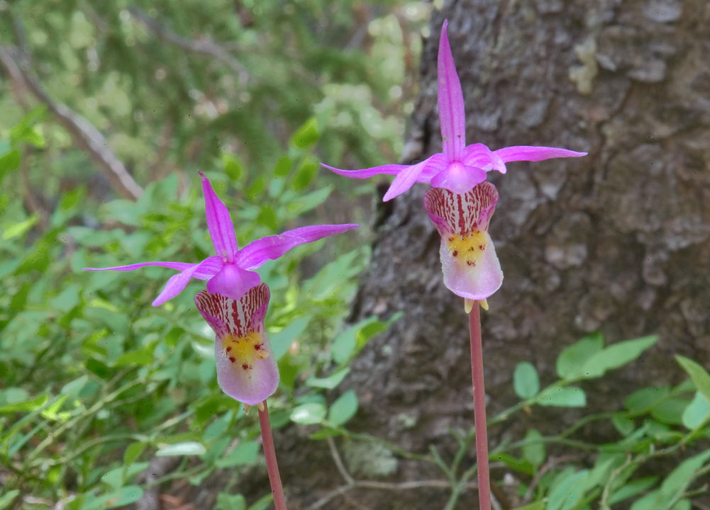 Calypso bulbosa (fairy slipper) orchid flowers...Sangre de Cristo Mountains. Colorado