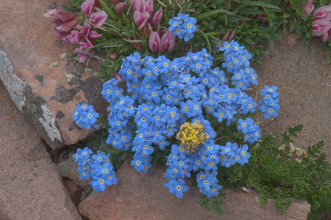 Alpine forget-me-not (Eritrichum aretioides...Sangre de Cristo Mountains. Colorado