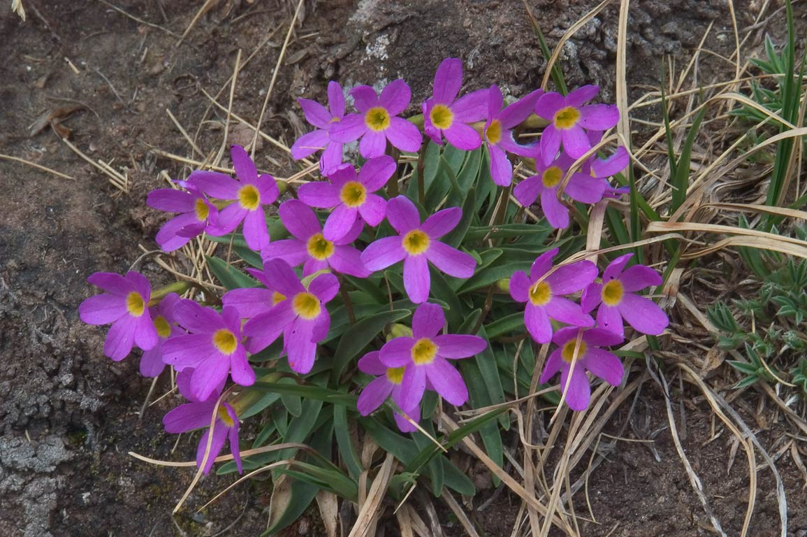 Alpine primrose (Primula angustifolia) on Colony...Sangre de Cristo Mountains. Colorado