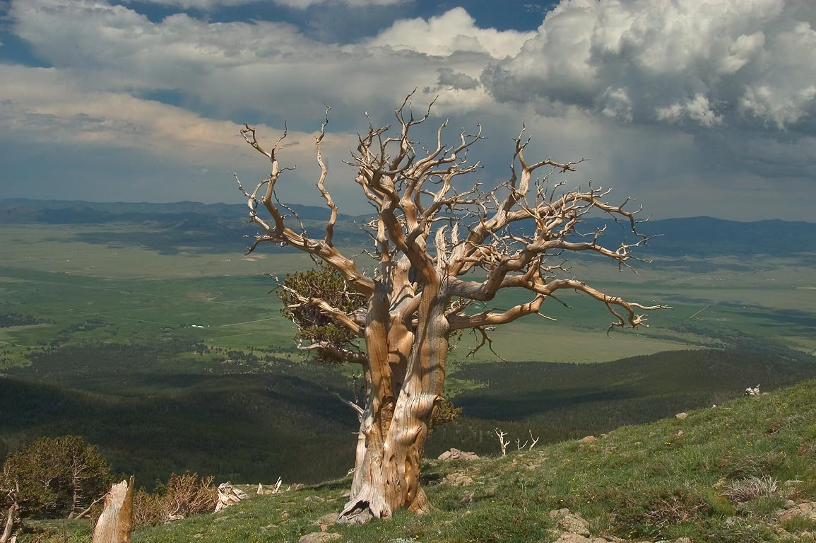 A dead tree and Reiser Prairie from a slope of...Sangre de Cristo Mountains. Colorado