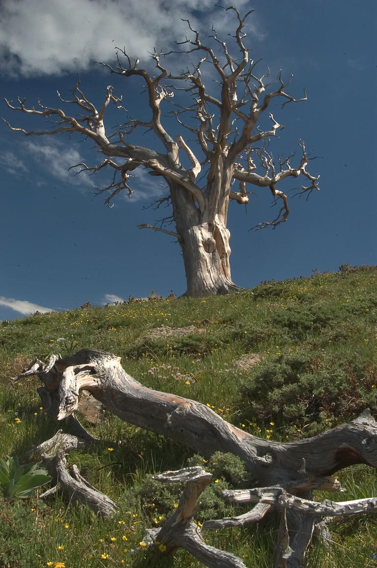 A dried tree on a slope of Colony Baldy Mountain in Sangre de Cristo Mountains. Colorado