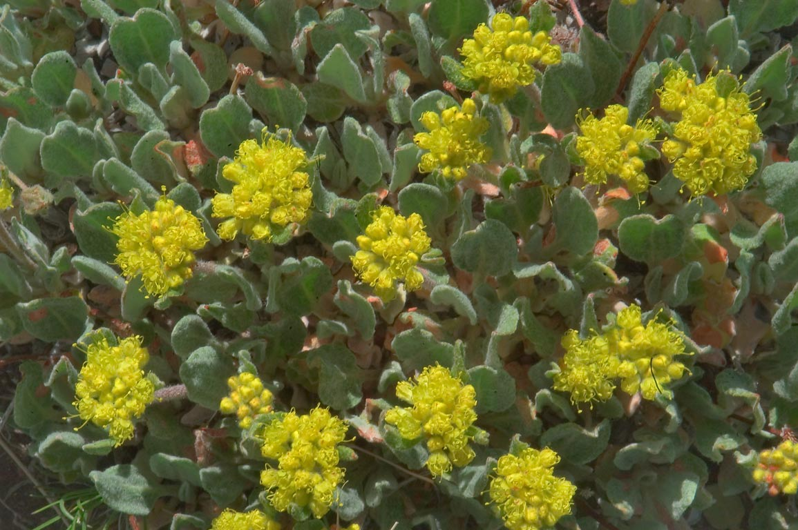 Sulphur flower buckwheat (Eriogonum umbellatum...Sangre de Cristo Mountains. Colorado