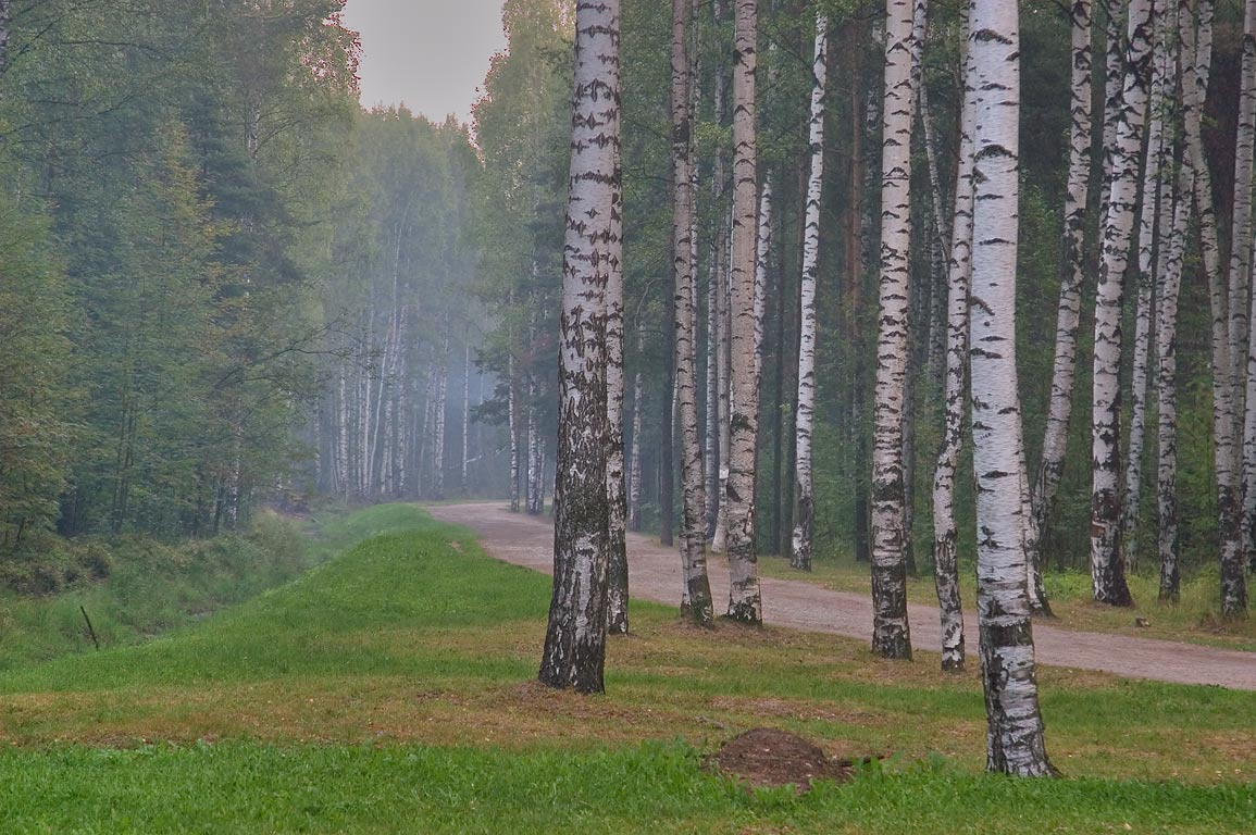 Birch alley in eastern part of Sosnovka Park. St.Petersburg, Russia