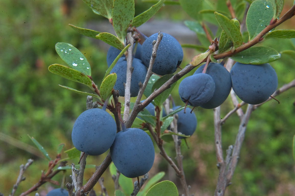 Swamp blueberry (Bog Bilberry, Vaccinium...45 miles from St.Petersburg. Russia