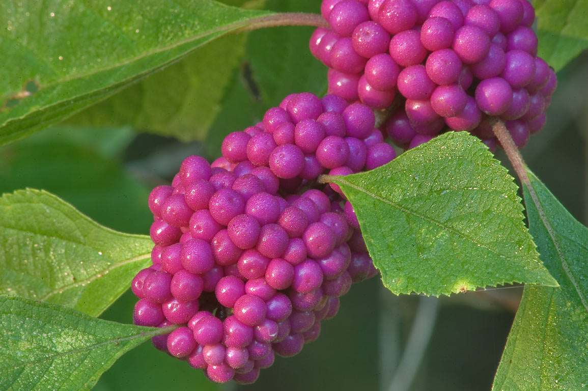 Beautyberry near Deer Run Trail in Lick Creek Park. College Station, Texas