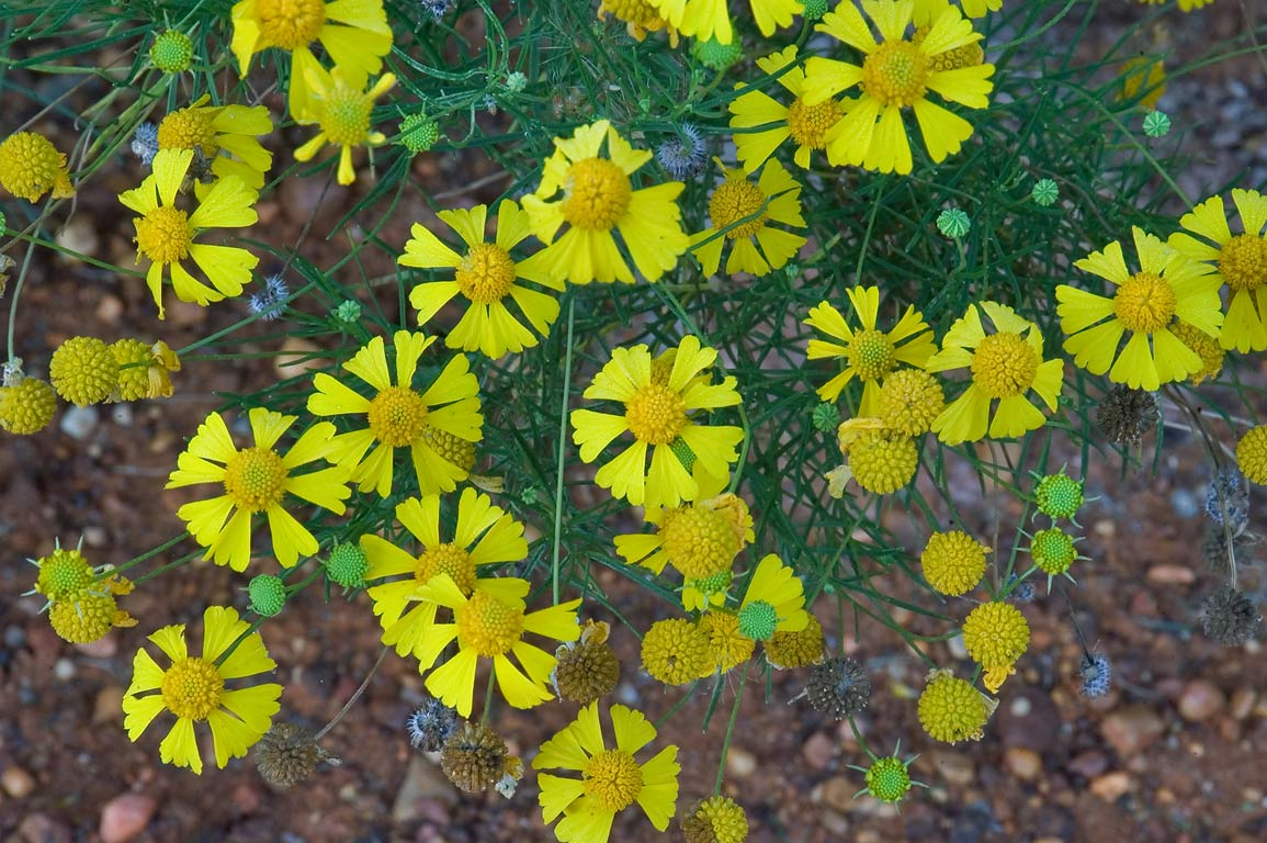 Sneezeweed near Deer Run Trail in Lick Creek Park. College Station, Texas