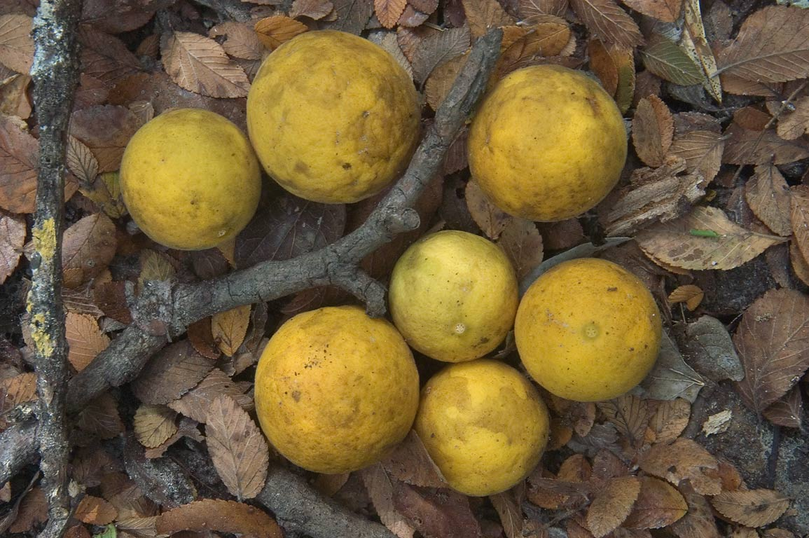 Wild citrus fruits of Trifoliate orange (Poncirus...Forest, near Huntsville. Texas