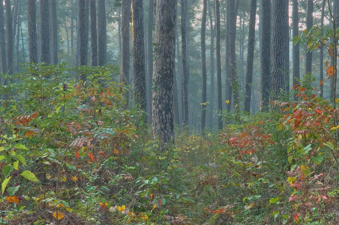 Pine and sumach in mist on Little Lake Creek Loop...National Forest. Richards, Texas