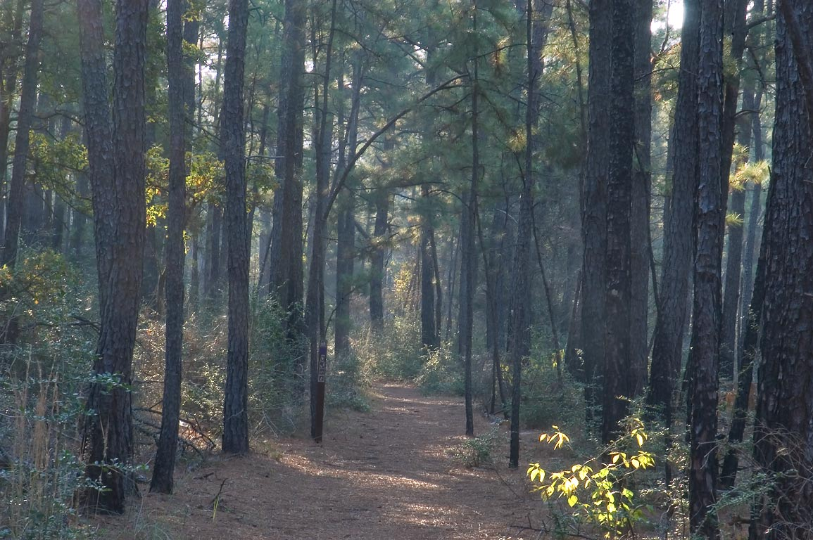 Lost Pines Trail in mist in Bastrop State Park. Bastrop, Texas
