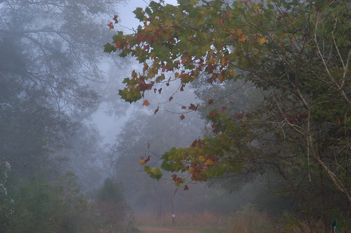 Sycamore on Deer Run Trail in fog in Lick Creek Park. College Station, Texas