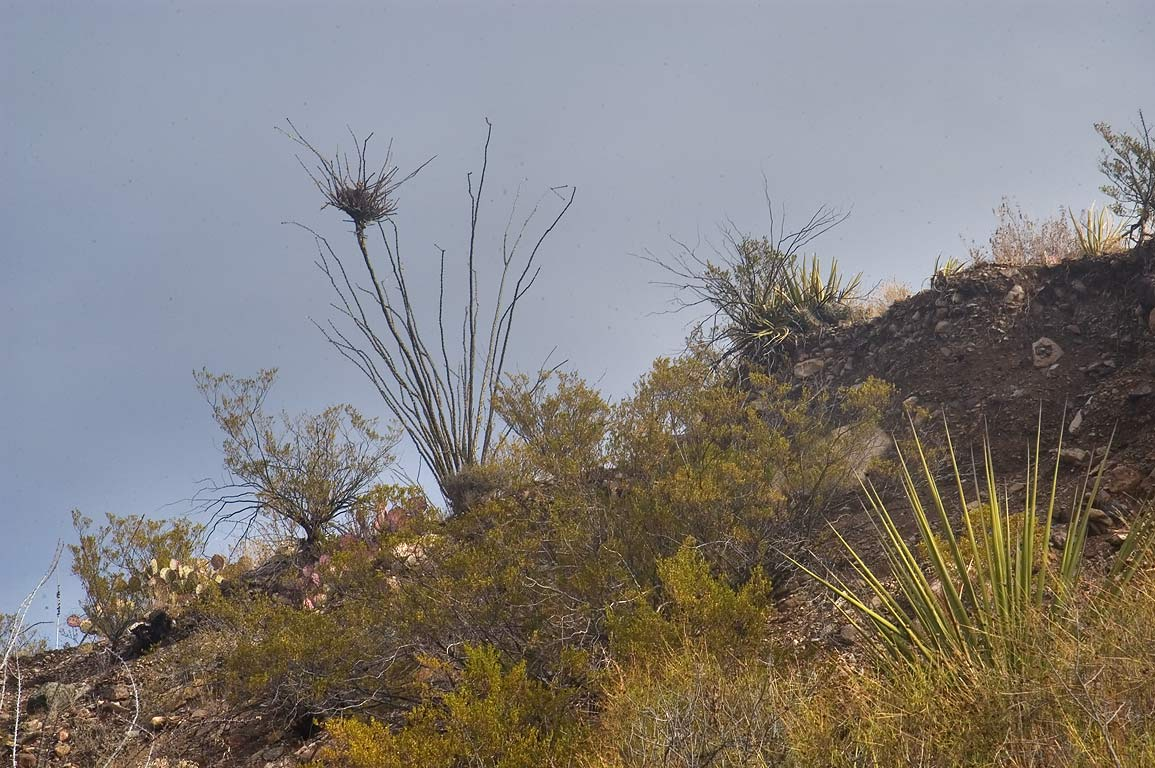 Desert mistletoe growing on ocotillo, view from...Trail. Big Bend National Park, Texas