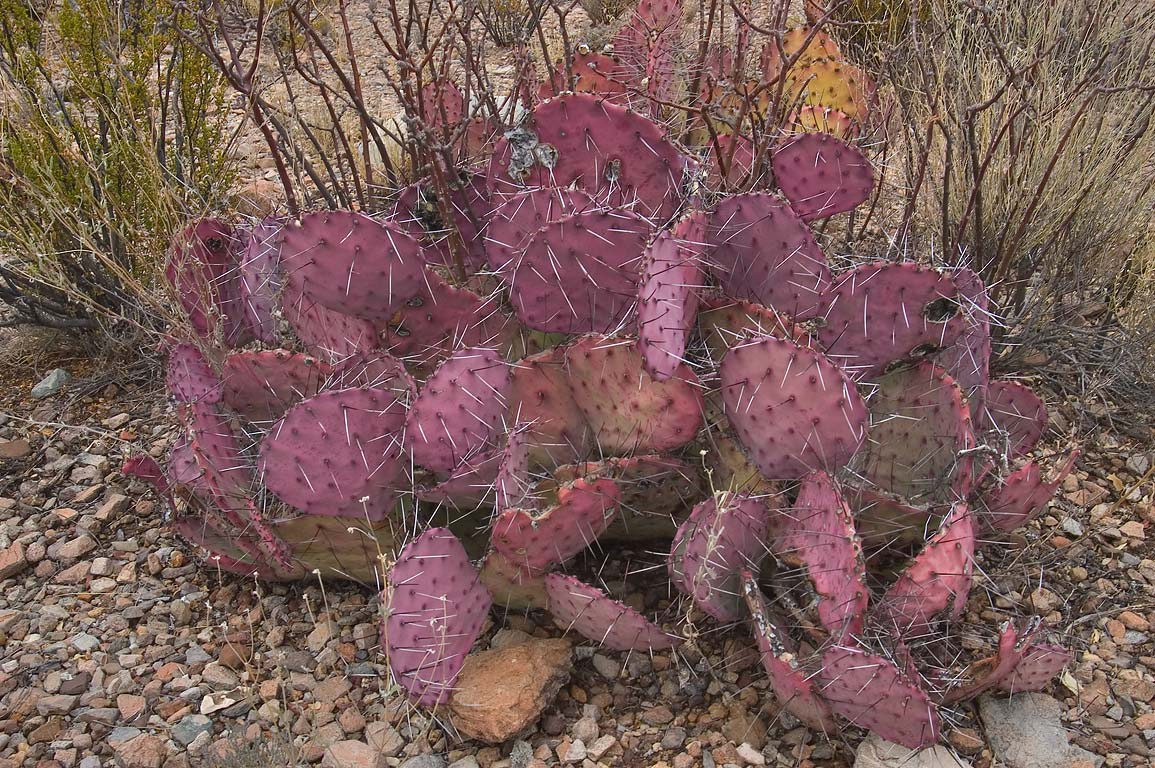 Image result for prickly pear texas purple