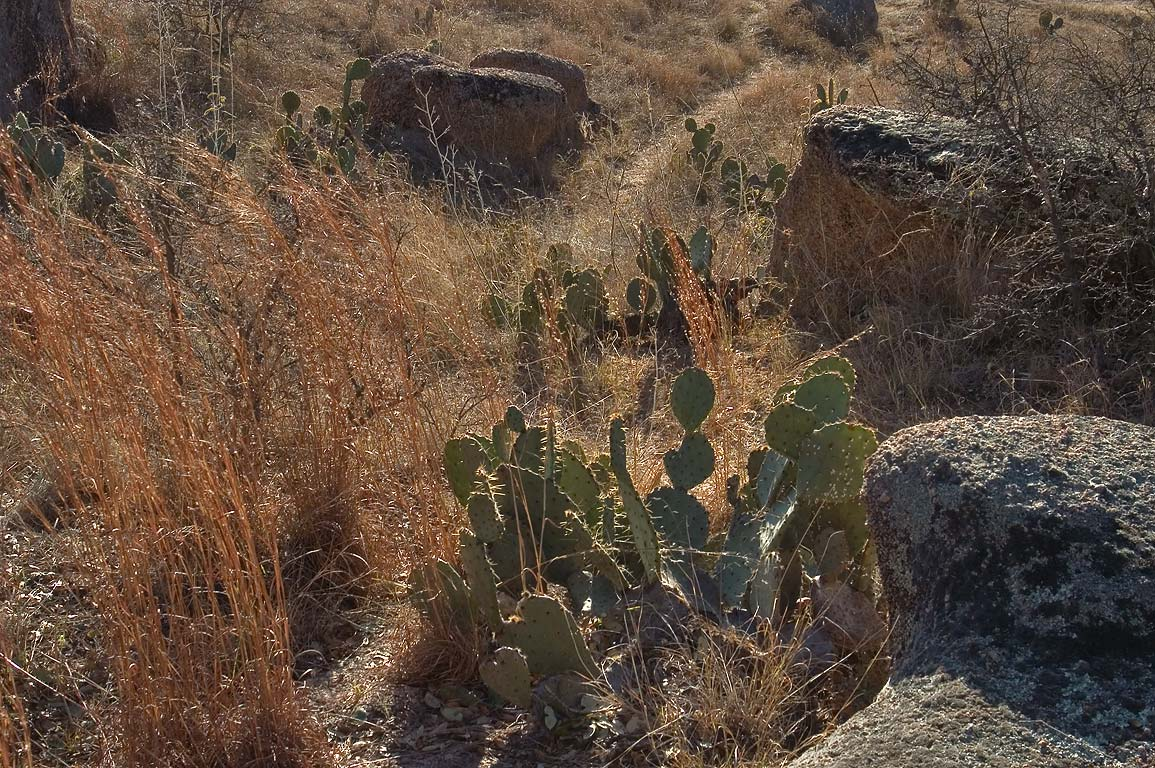 Cacti on a slope of Freshman Mountain in...Natural Area. Fredericksburg, Texas