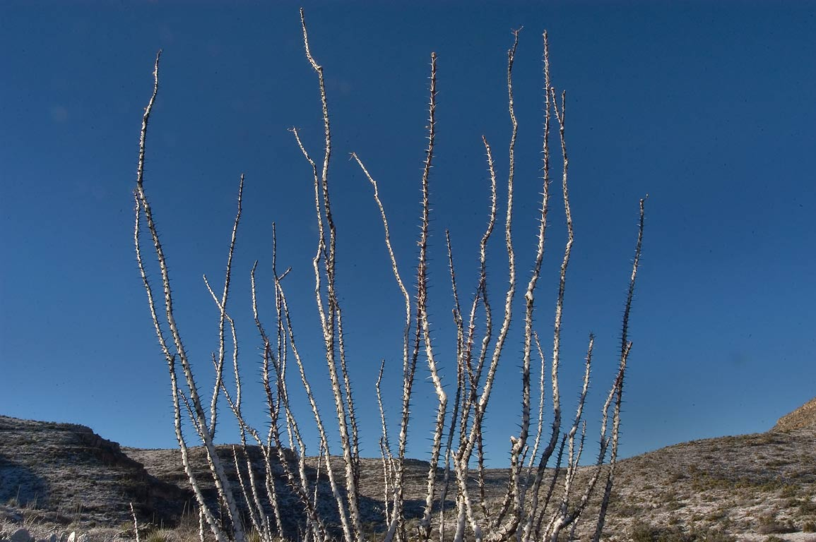 Ocotillo bush near a road between White's City and Carlsbad Caverns. New Mexico
