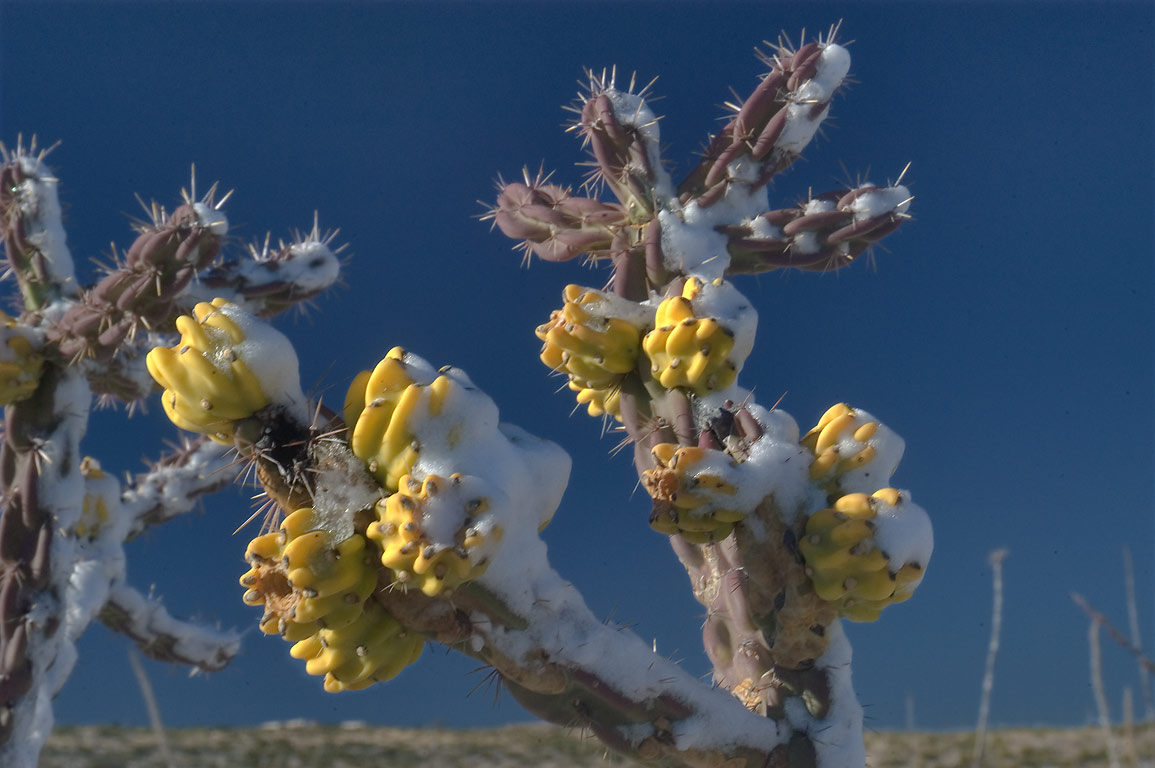 Cholla cactus in snow near a road between White's City and Carlsbad Caverns. New Mexico
