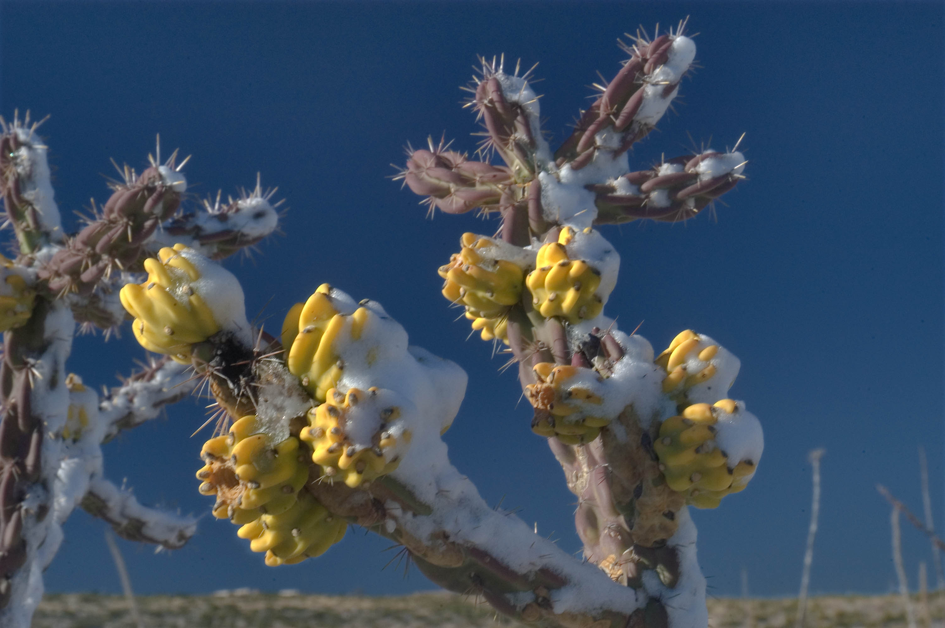 Photo 607-12: Cholla cactus in snow near a road between ...