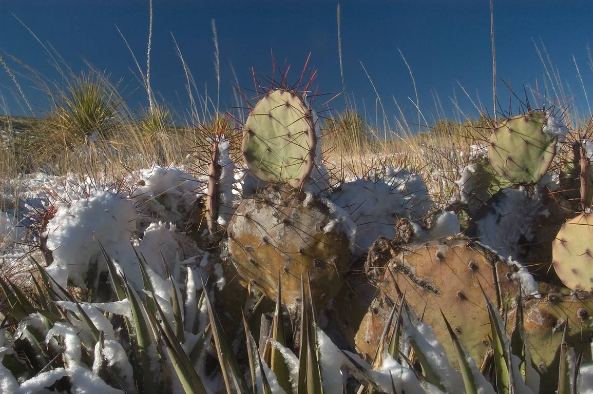 Prickly pears cactus in snow near a road between...City and Carlsbad Caverns. New Mexico