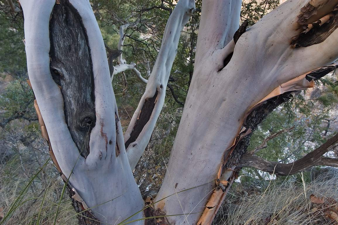 Peeling bark of Texas madrone on Devils Hall...Mountains National Park, Texas