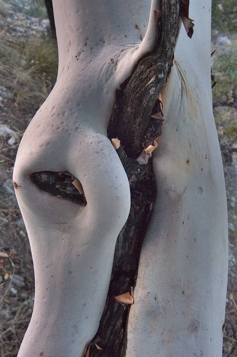 Smooth white bark of Texas madrone on Devils Hall...Mountains National Park, Texas